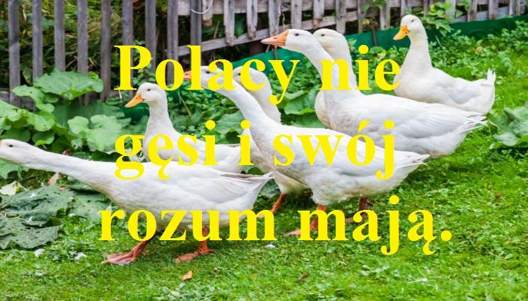 Polacy nie gęsi i swój rozum mają.